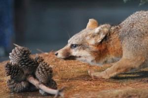 Sedema presenta zorra gris en Museo de Historia Natural