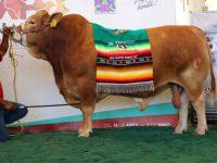 Recibe toro mexicano reconocimiento mundial en la categoría de su especie