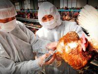 Reporta SENASICA a la OIE la localización y cierre de dos focos de Influenza Aviar AH7N3