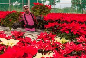Garantiza producción de flor Nochebuena abasto durante fiestas de fin de año