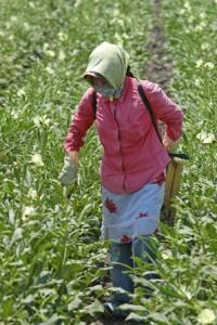 Programa-atencion-a-jornaleros-agricolas-beneficia-a-mas-de-49-mil-