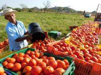 Total respaldo a productores de tomate para lograr nuevo acuerdo con Estados Unidos: Sader y AMSDA